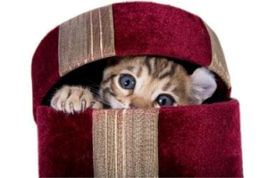 kitten in red box