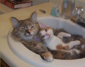 cats in sink