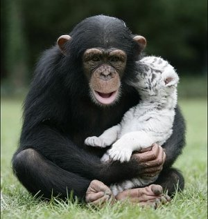 chimp with tiger cub