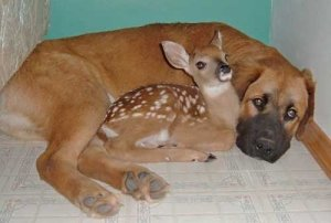 dog and fawn